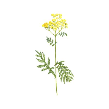 tansy flower, drawing by colored pencils, hand drawn illustration