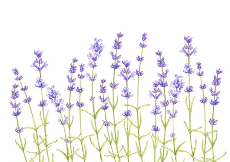 lavender flowers, drawing by colored pencils