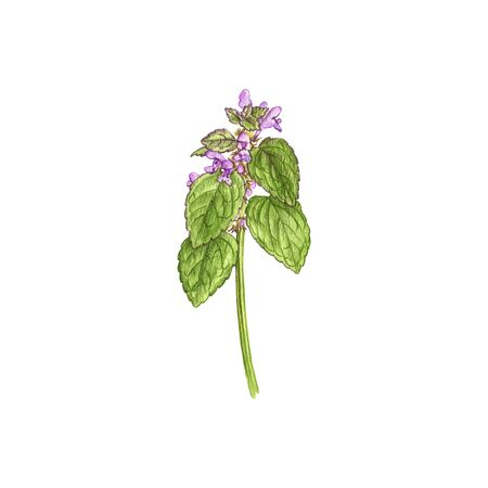 red dead-nettle flower, drawing by colored pencils Stock fotó