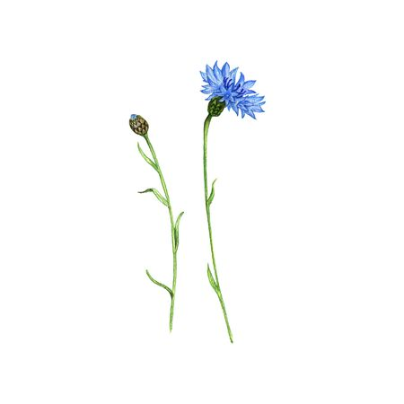 blue cornflower flower, drawing by colored pencils