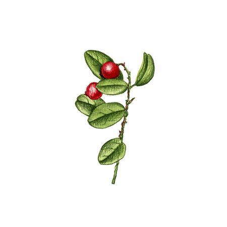 lingonberry plant, drawing by colored pencils