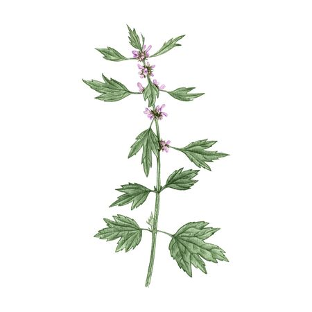 motherwort flower, drawing by colored pencils
