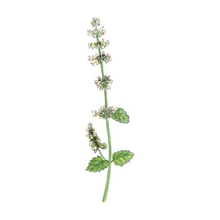 lemon balm flower, drawing by colored pencils