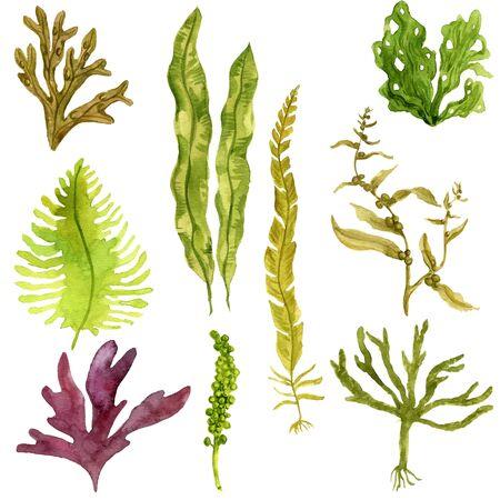 watercolor drawing edible seaweed Stock fotó
