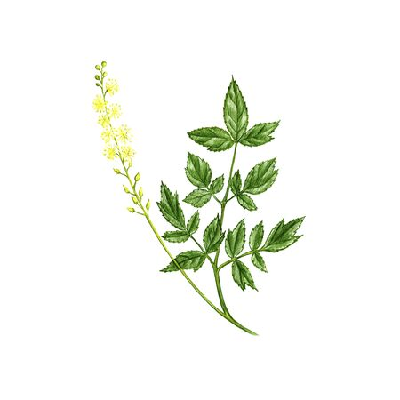 Black cohosh flower, drawing by colored pencils,Actaea racemosa , hand drawn illustration Stock fotó