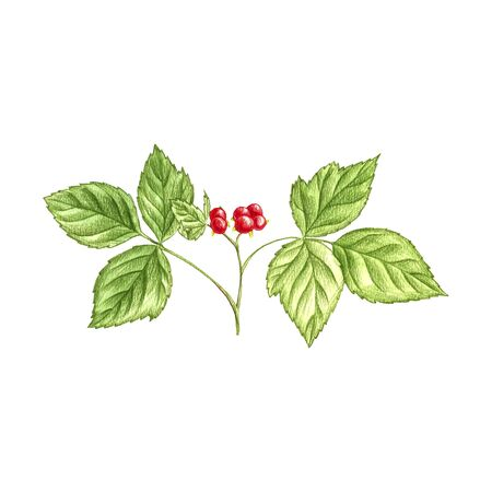 stone bramblestone bramble plant, Rubus saxatilis, drawing by colored pencils, hand drawn illustration