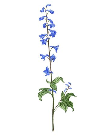 larkspur flower, drawing by colored pencils