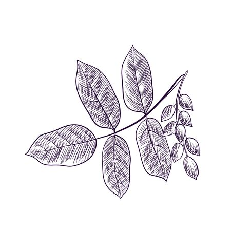 vector drawing branch of pistachio tree
