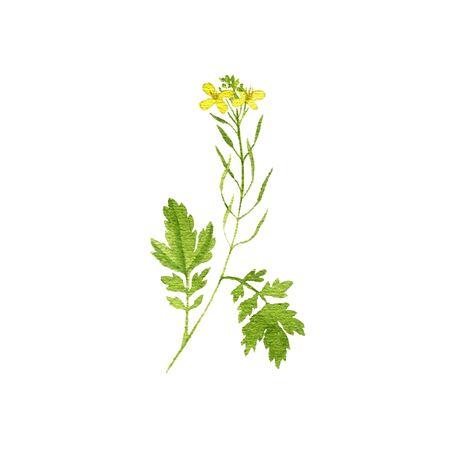 disegno ad acquerello pianta di senape, brassica nigra, illustrazione disegnata a mano