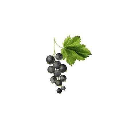 watercolor drawing blackcurrant berries , hand drawn illustration 版權商用圖片
