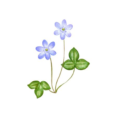 hepatica, drawing by colored pencils, Anemone hepatica , hand drawn illustration Stock fotó