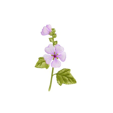 Marsh-mallow, drawing by colored pencils, Althaea officinalis, hand drawn illustration