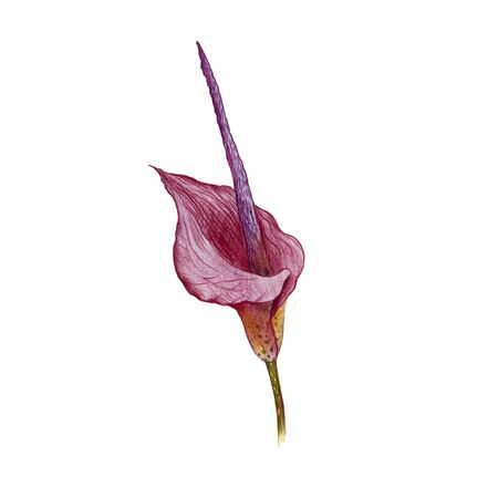 Konjac , konjak, drawing by colored pencils, Amorphophallus konjac, hand drawn illustration