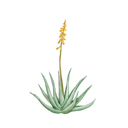 Aloe vera, drawing by colored pencils, , hand drawn illustration