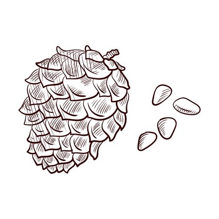 vector drawing pine nuts and cone, hand drawn illustration