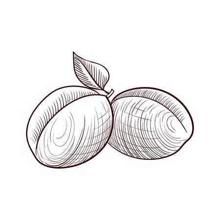vector drawing apricots Vetores