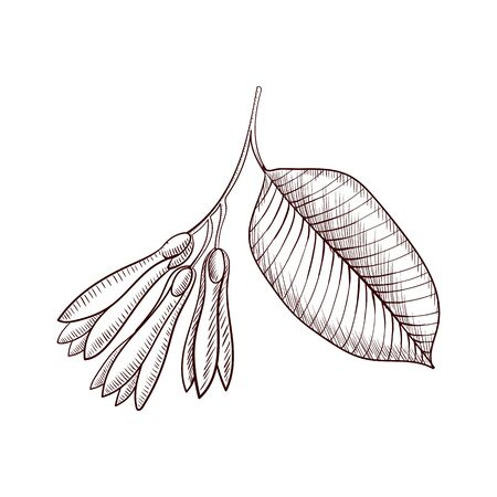 vector drawing borneo tallow nut branch