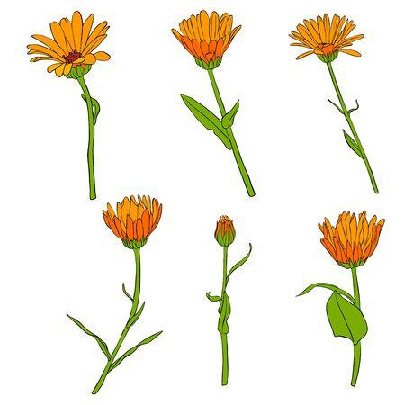 vector drawing calendula flowers, set of floral elements, hand drawn illustration Иллюстрация