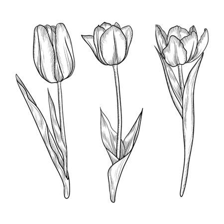 vector drawing flowers of tulips, vintage floral elements, hand drawn illustration Ilustración de vector