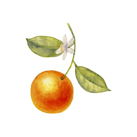 watercolor drawing branch of orange tree