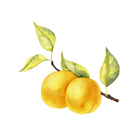 watercolor drawing branch of apricot