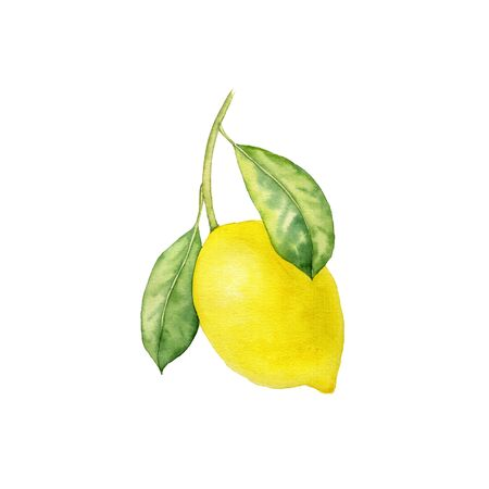 watercolor drawing branch of lemon tree with leaves , hand drawn illustration