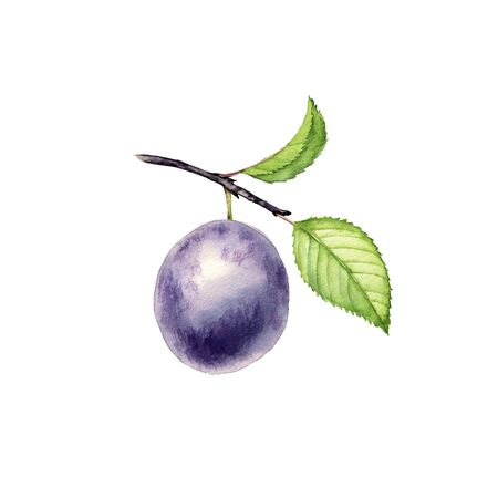 watercolor drawing branch of plum