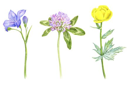 wild plants and flowers, drawing by color pencils, field herbs isolated at white background, natural background, hand drawn illustration
