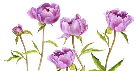 watercolor drawing pink peony flowers isolated at white background, hand drawn illustration