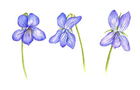 violet flowers of viola, drawing by color pencils, field herbs isolated at white background, natural background, hand drawn illustration Reklamní fotografie