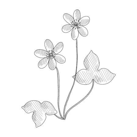 vector drawing hepatica, Anemone hepatica , hand drawn illustration