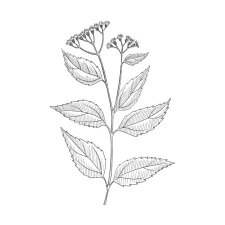 vector drawing white snakeroot, Ageratina altissima, hand drawn illustration