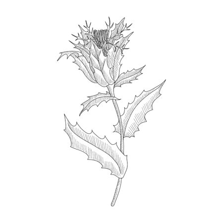 vector drawing blessed thistle,Cnicus benedictus , hand drawn illustration Vettoriali