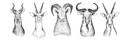 vector set of hand drawn heads of antelopes, bull and bizon, vintage illustration