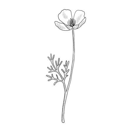 vector drawing californian poppy Illustration