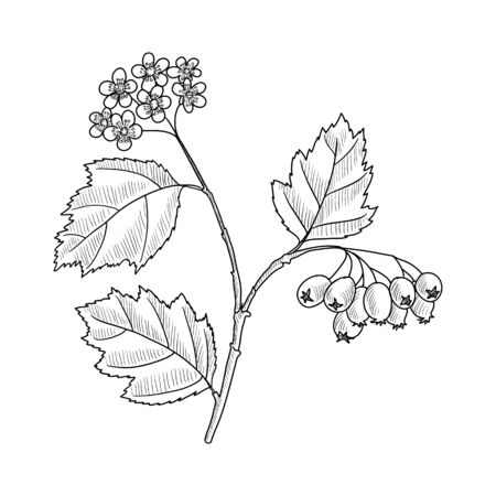 vector drawing hawthorn branch with leaves, flowers and berries, Crataegus laevigata, hand drawn illustration Иллюстрация