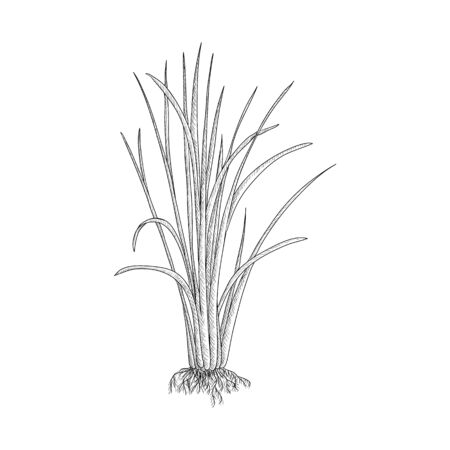 vector drawing vetiver plant