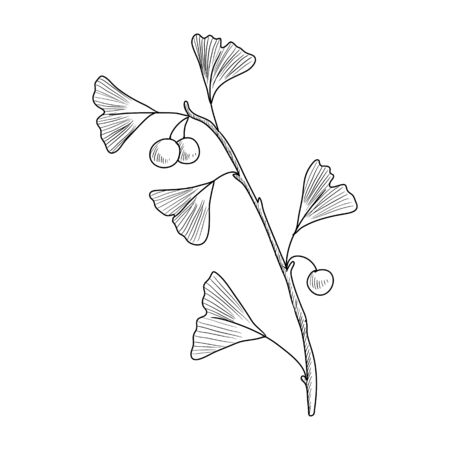 vector drawing ginkgo