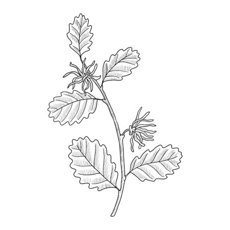 vector drawing witch-hazel