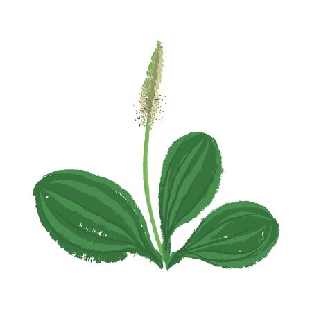 vector drawing plantago plant with green leaves, isolated floral element at white background, hand drawn illustration