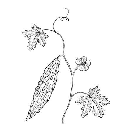 vector drawing bitter melon plant Illustration