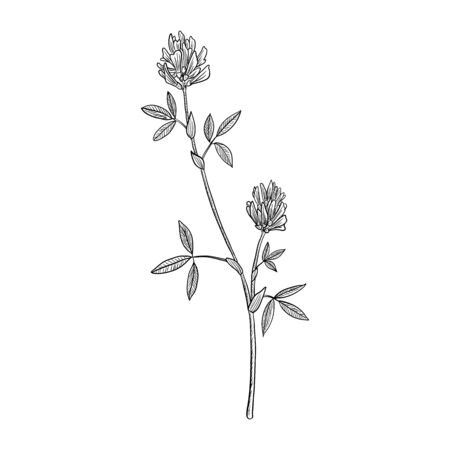 vector drawing alfalfa, flower of lucerne, Medicago sativa , hand drawn illustration