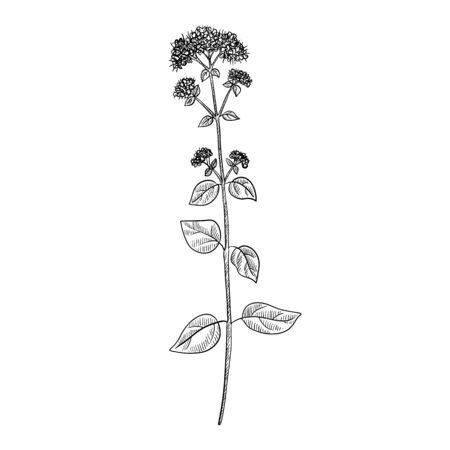 vector drawing oregano plant, Origanum vulgare, hand drawn illustration