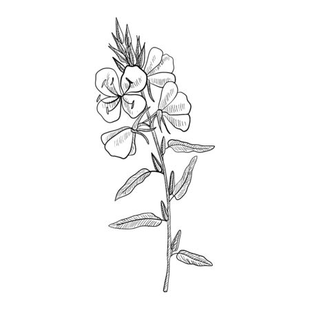 vector drawing evening primrose flower ,Oenothera , hand drawn illustration