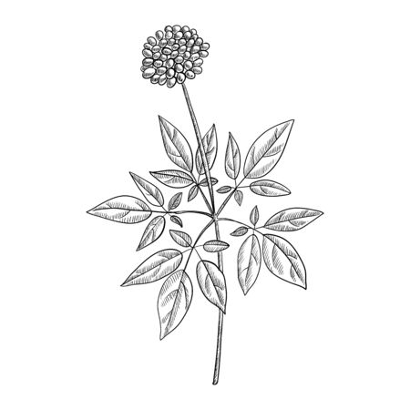 vector drawing ginseng plant with berries, Panax , hand drawn illustration Векторная Иллюстрация