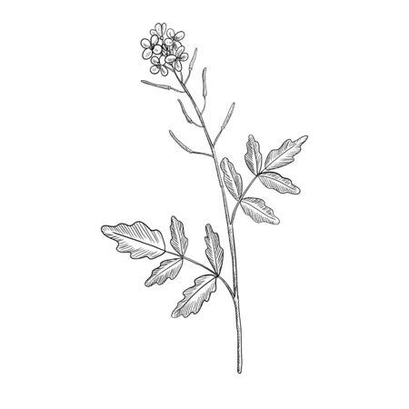 vector drawing watercress flower, Nasturtium officinale, hand drawn illustration