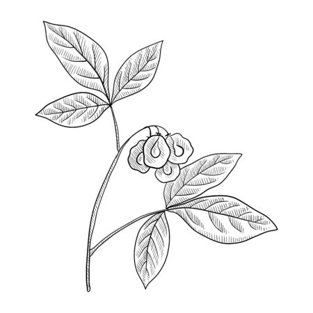 vector drawing wafer ash,Ptelea trifoliata , hand drawn illustration of medicinal plant