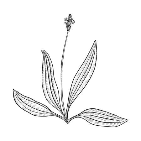 vector drawing plantain ,Plantago lanceolata , hand drawn illustration of medicinal plant