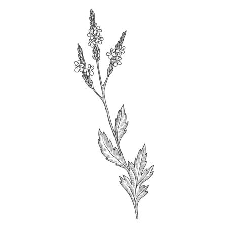 vector drawing verbena, Verbena officinalis, hand drawn illustration of medicinal plant