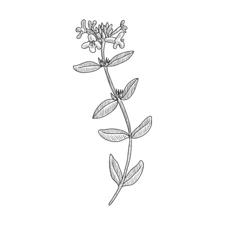 vector drawing thyme, Thymus vulgaris, hand drawn illustration of medicinal plant Ilustração